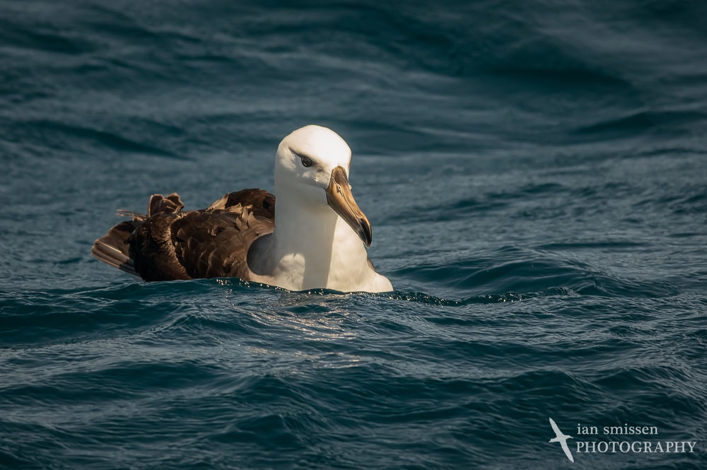 Black-browed Albatross (immature)
