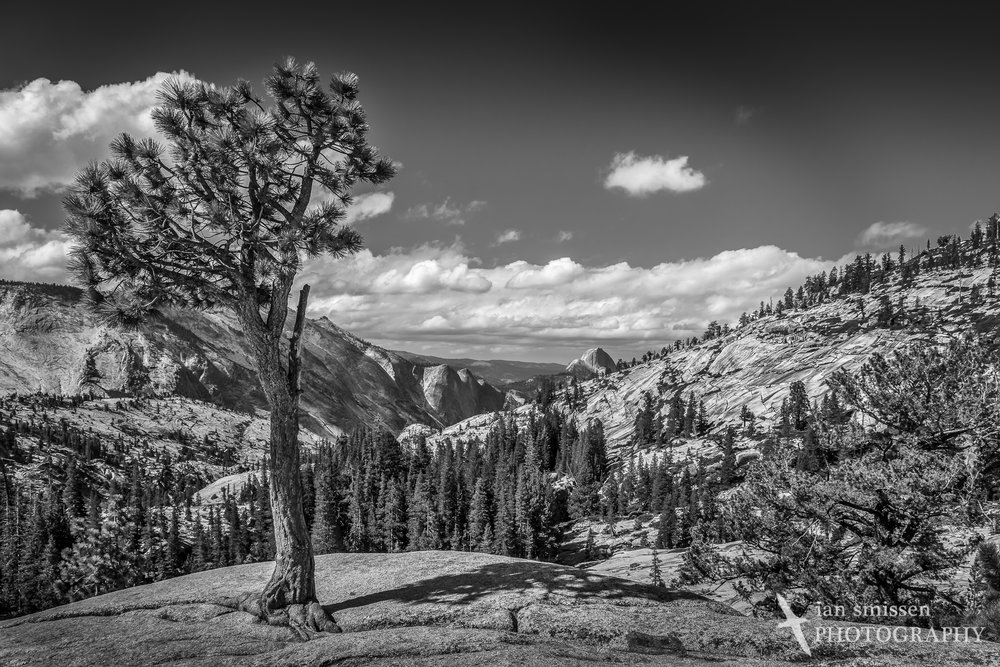 Bristlecone Pine at Olmsted Point, Yosemite