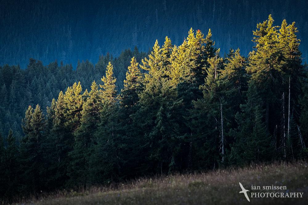 Sunlight on treetops, Hurricane Ridge