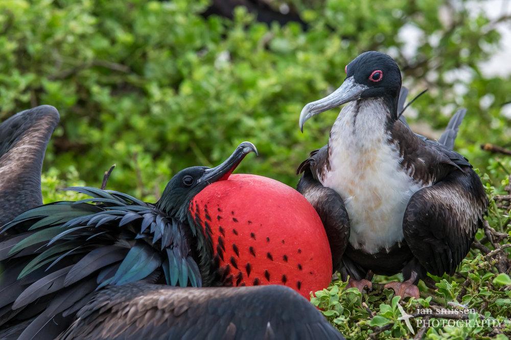Great Frigatebird (male and female)