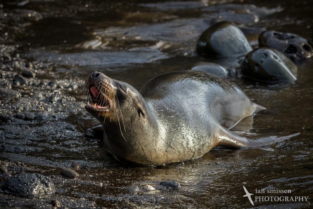 Galápagos Sea Lion (female)