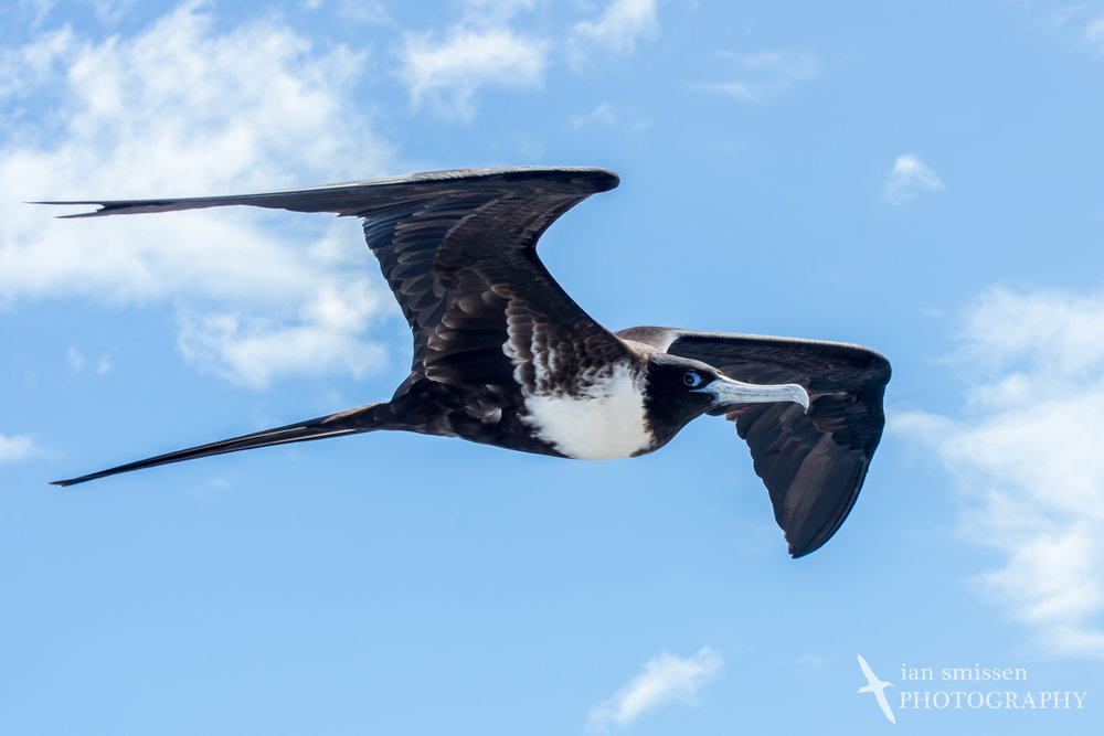 Magnificent Frigatebird (female)