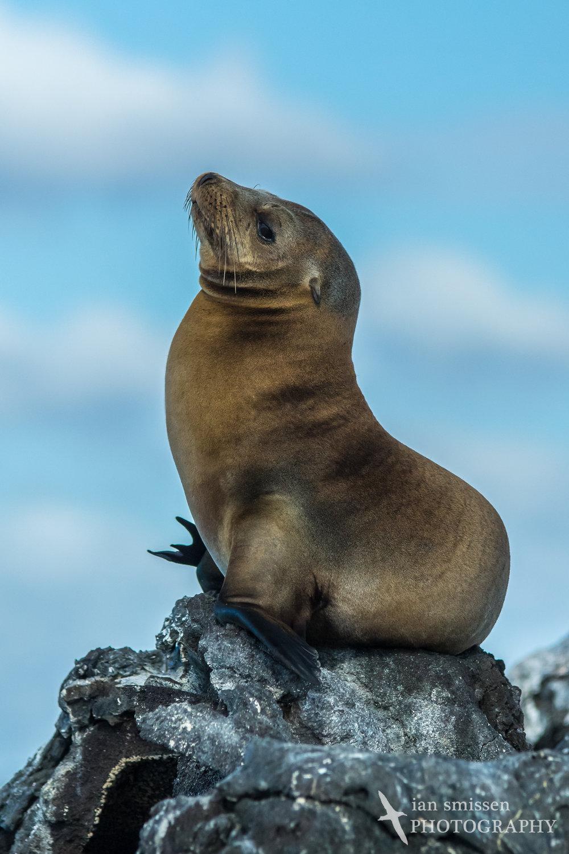 Galápagos Sea Lion (male)