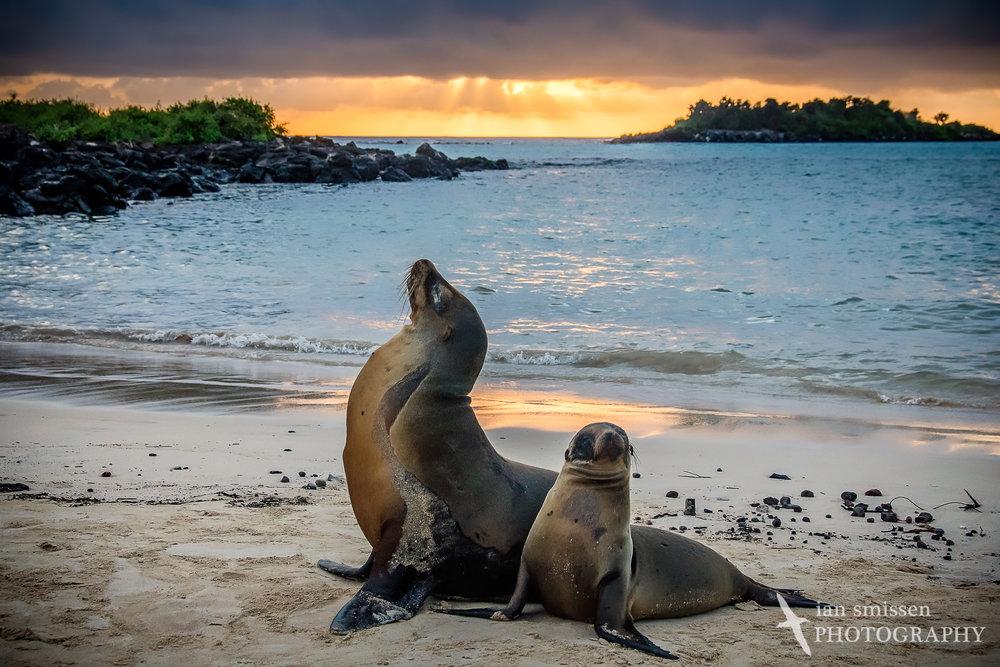 Galápagos Sea Lion (female and juvenile)