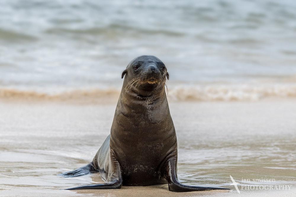 Galápagos Sea Lion (juvenile)