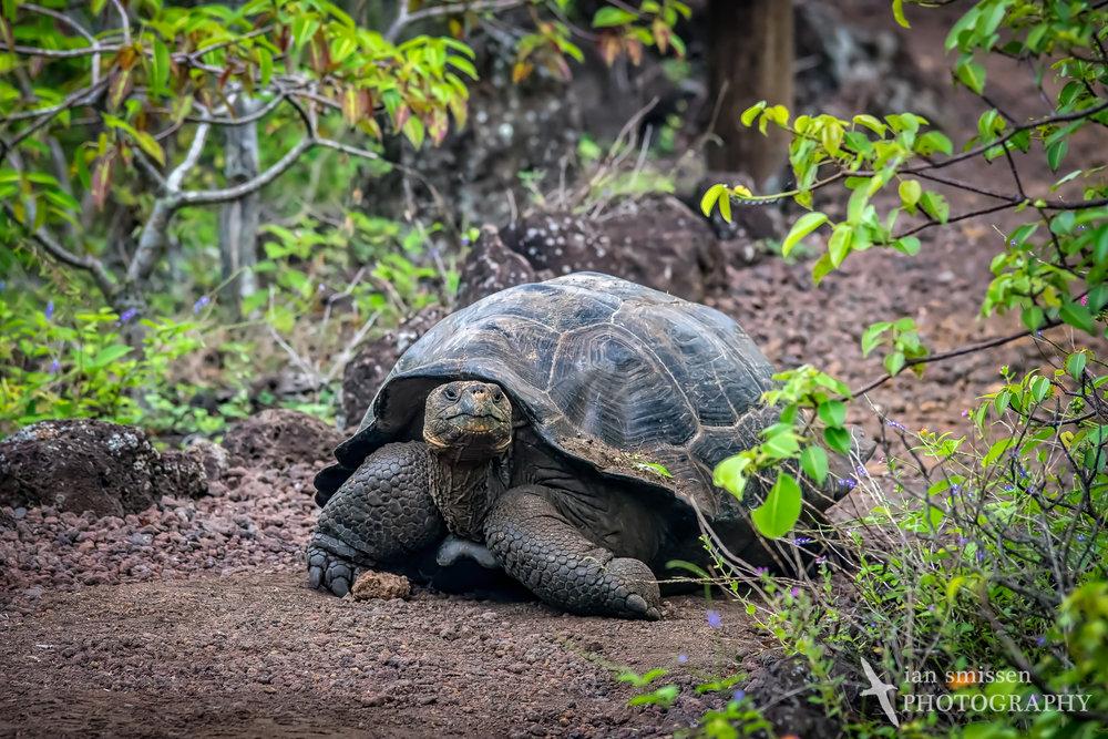 Galápagos Tortoise (San Cristóbal subspecies)