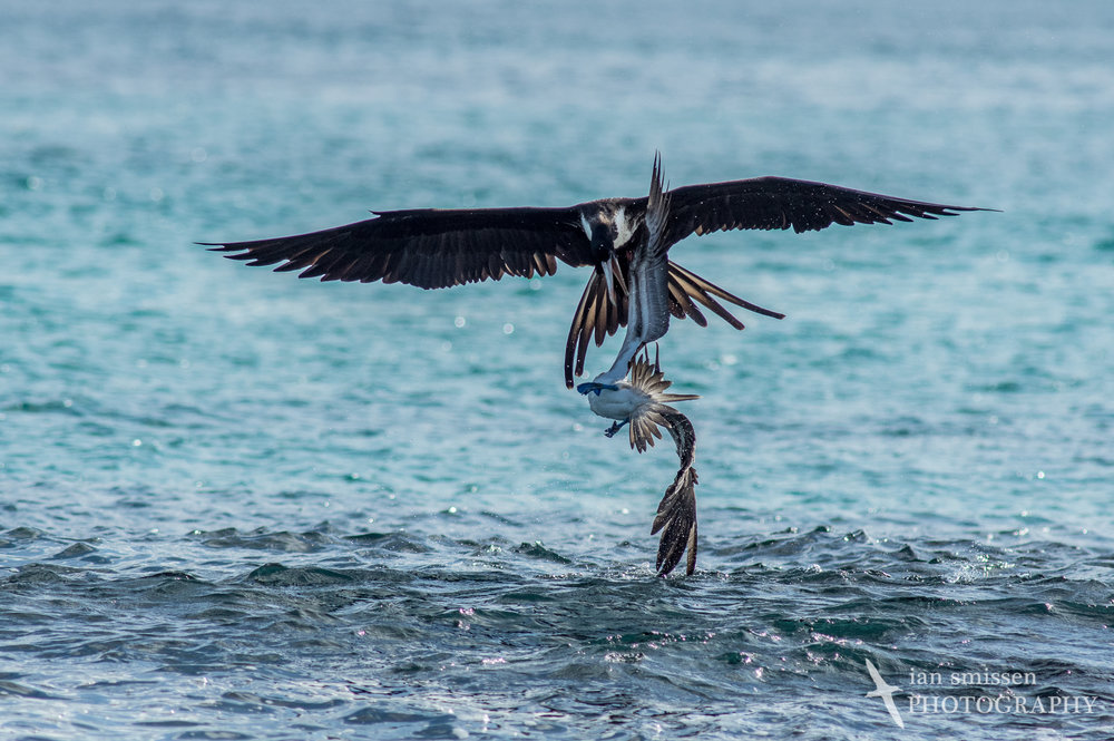 Magnificent Frigatebird and Blue-footed Booby