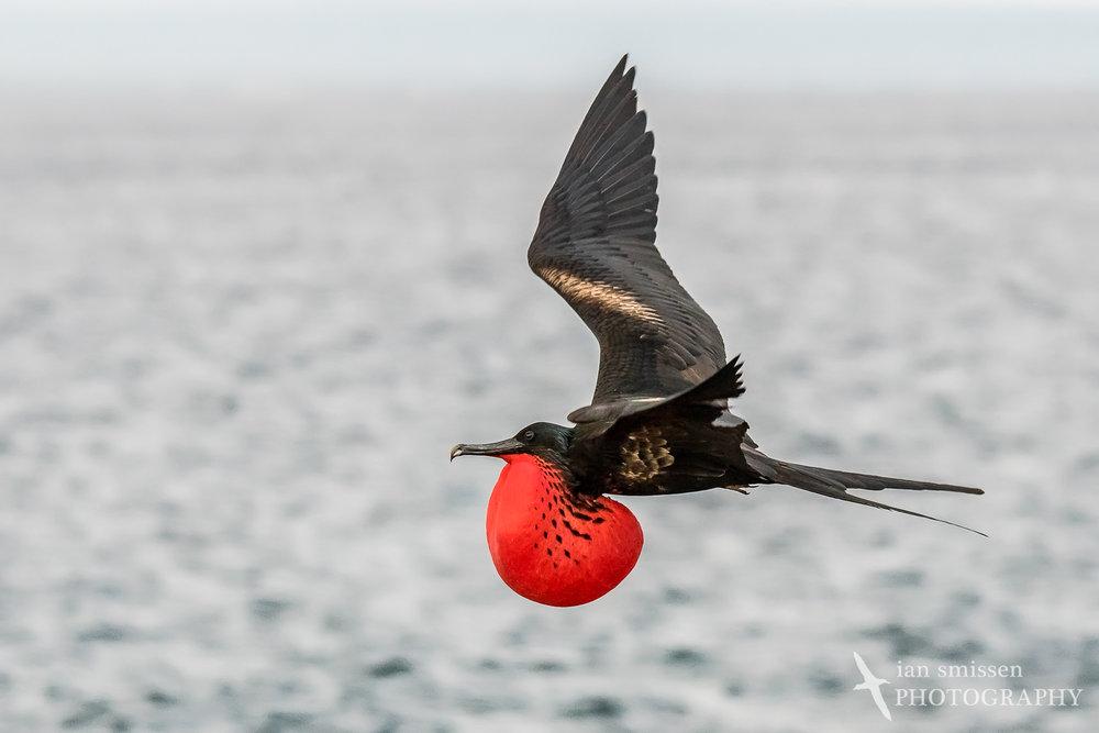 Magnificent Frigatebird (male)