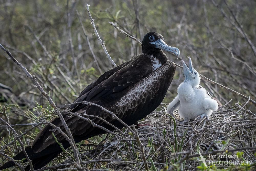 Magnificent Frigatebird (female and chick)