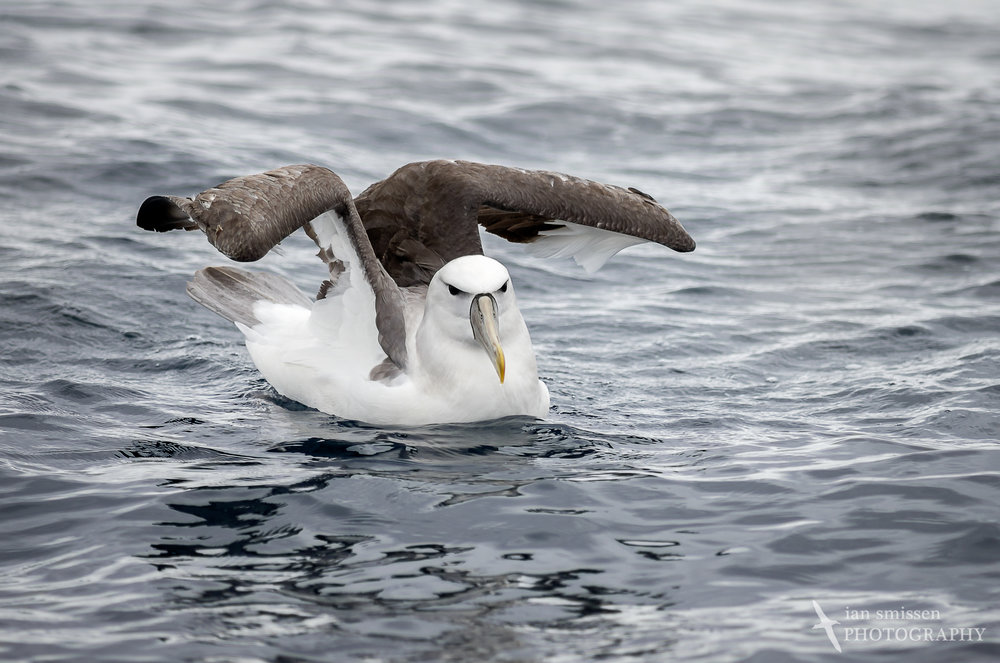 White-capped (Shy) Albatross