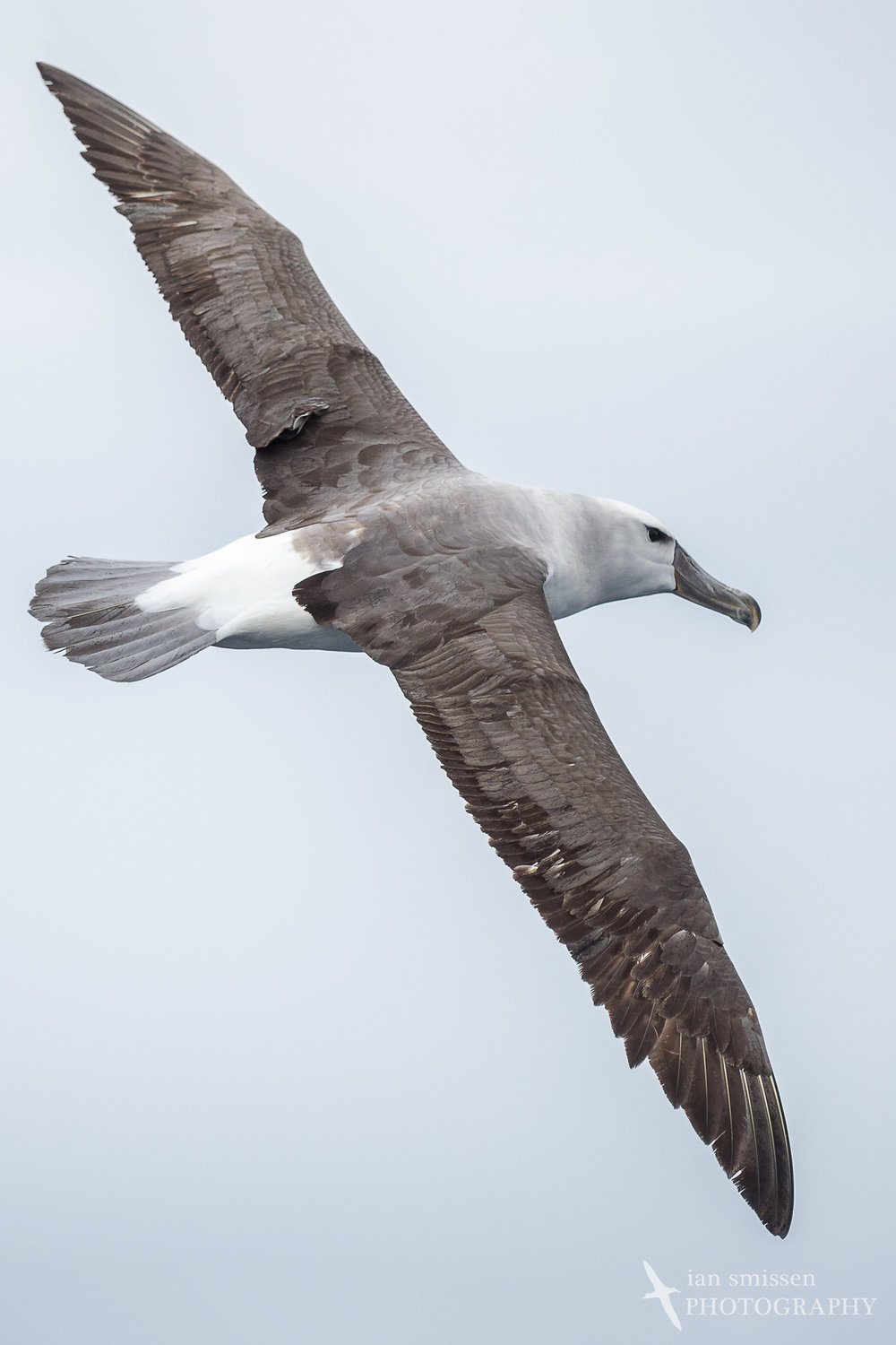 White-capped (Shy) Albatross (immature)