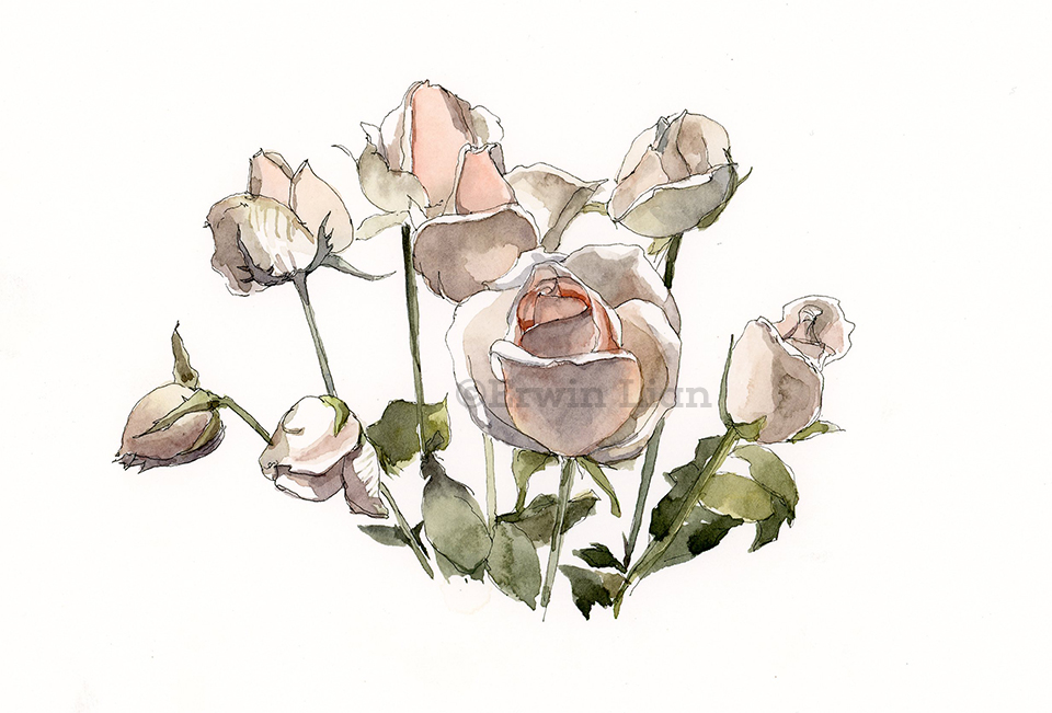 Roses, transparent watercolor and ink