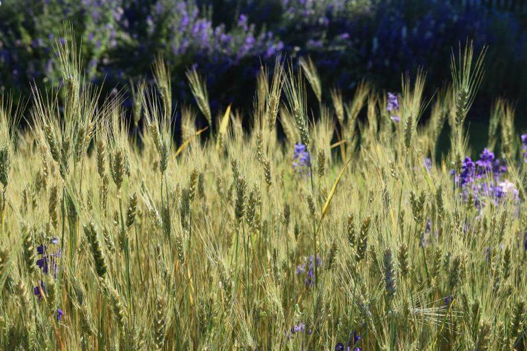 wheat-in-sun-768x512.jpg