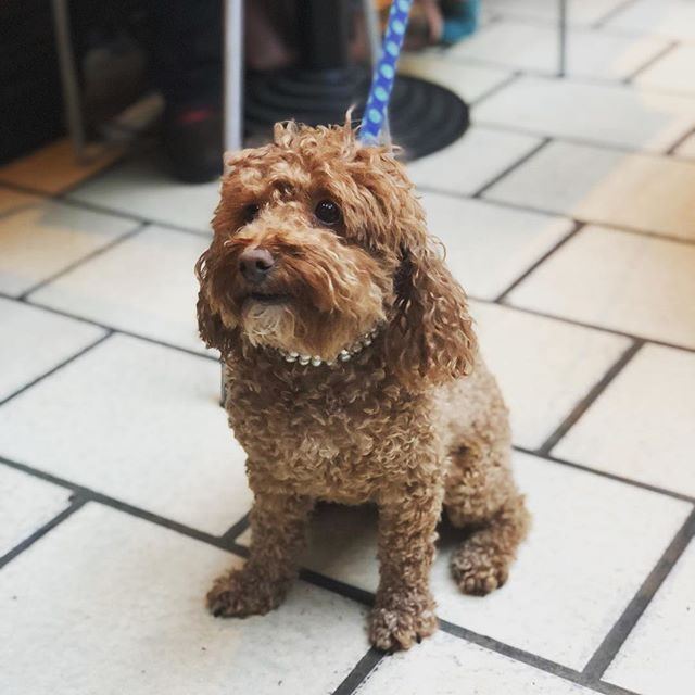 Mimi's one of our favourite customers at L'Antipasto and you can see why 😊..I'm very glad to say we're dog friendly here so feel free to bring your pooches down too #mimi #toy #poodle #dogsofinstagram #italia #restaurant #dog #friendly #instafood #foodporn #thursday #lunch #london #battersea #foodblogger #southlondon