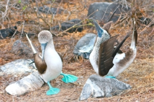 Blue Footed Booby Dance.jpg