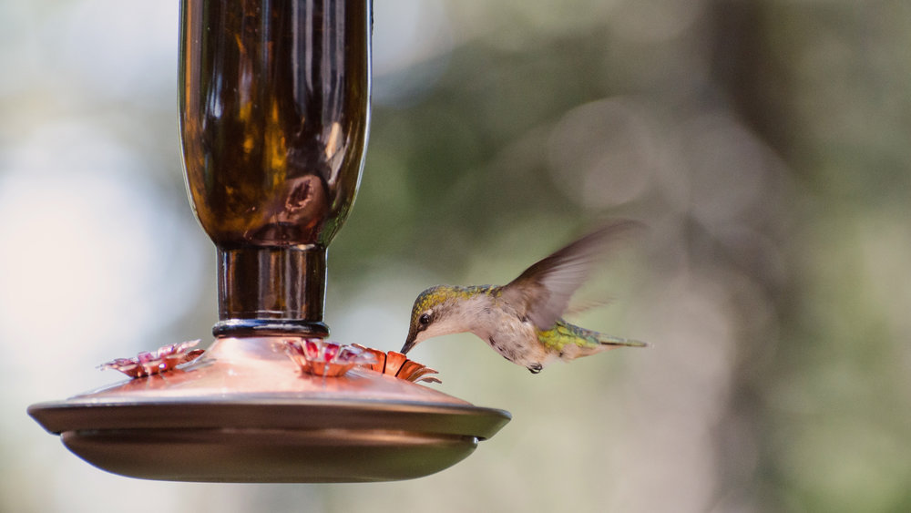 Hummingbird no text 1920x1080.jpg