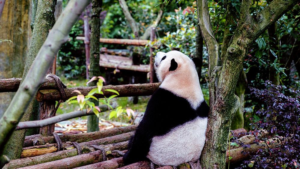 panda image 1000x563.jpg