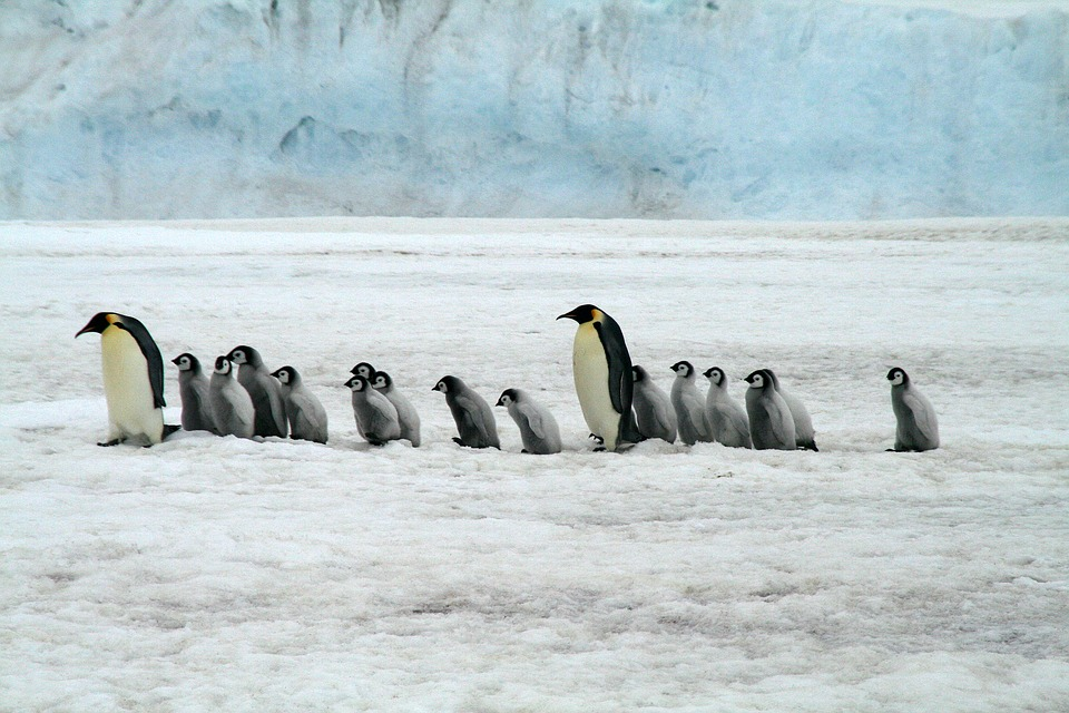 emperor-penguins-2821897_960_720.jpg