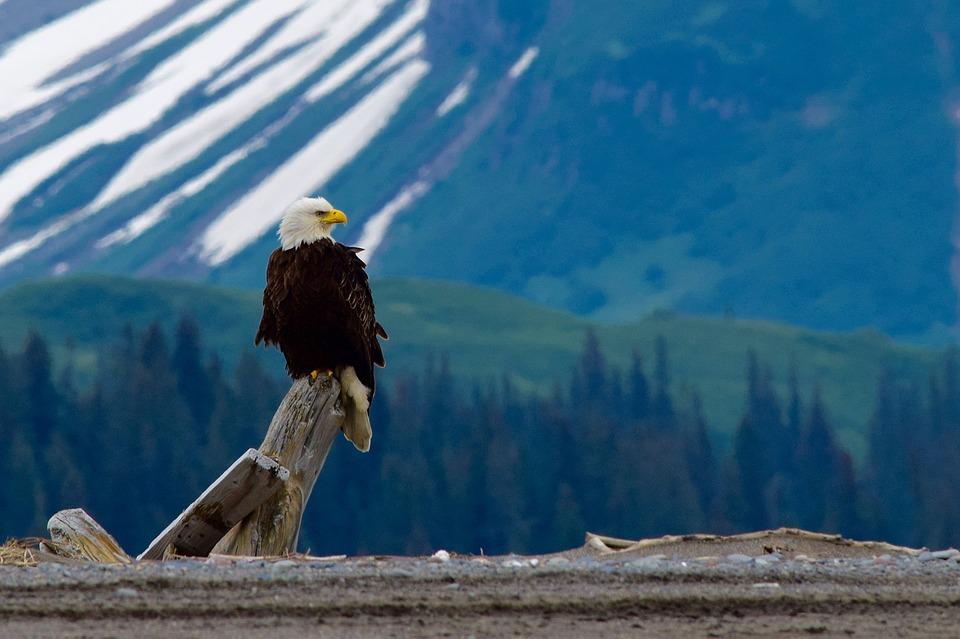 bald-eagle-2030735_960_720.jpg