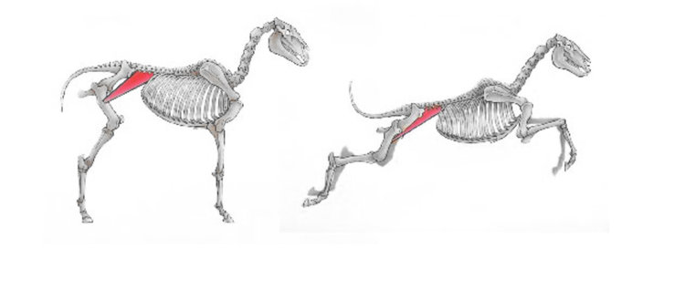 The Iliopsoas muscle : The TROUBLEMAKER — CANINE MUSCLEWORKS