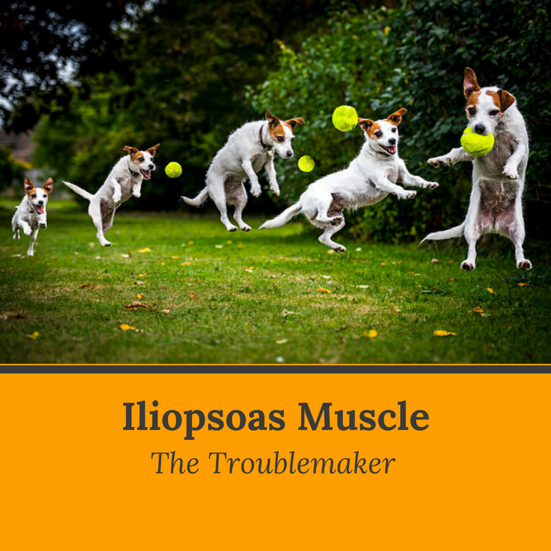 canine_muscleworks_iliopsoas