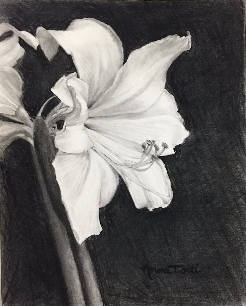White Amaryllis Profile -  17 x 14, graphite & charcoal on paper