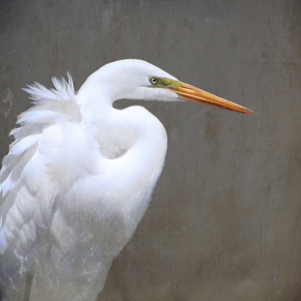Great Egret - Photo on Canvas