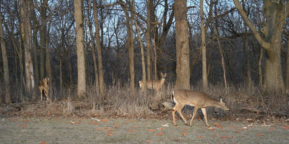 deer-three.jpg