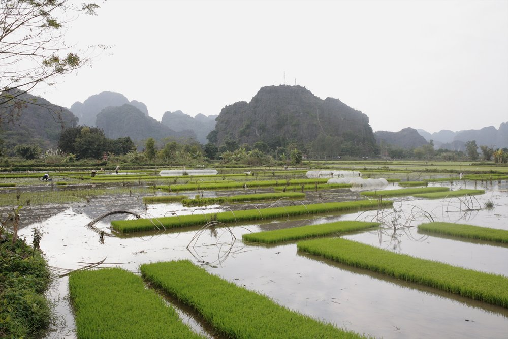 rice fields for miles