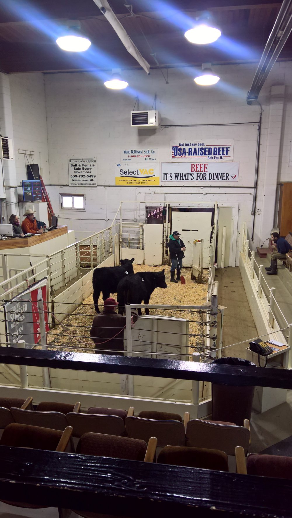A couple steers going through the sale ring ahead of our cows