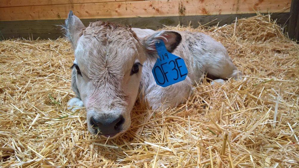 OF Einstein 3E - Olmo x Little Sheba (Bull)
