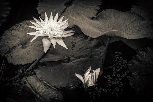 Zen Lotus 1