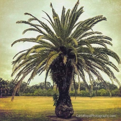 dunedin-palm-trees.jpg