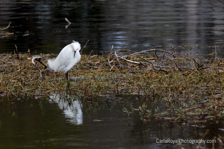 dunedin-snowy-egret-2.jpg