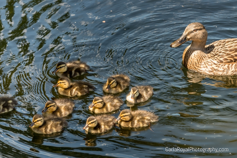 mallard-wall-springs-park-palm-harbor.jpg