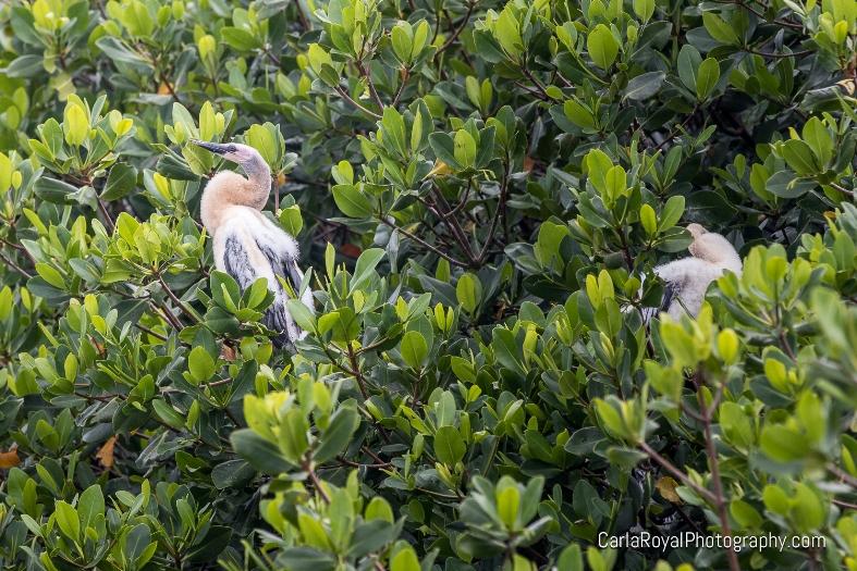 baby-egret-ding-darling-refuge-sanibel-island.jpg