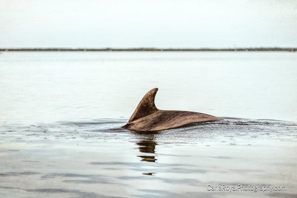 dolphin-st-joseph-sound-dunedin.jpg