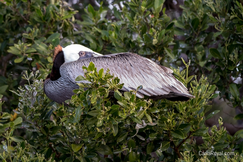 pelican-dunedin-2.jpg