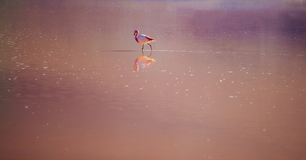 In The Pink A lone flamingo wades in the red water of Laguna Hedionda on the Bolivian Altiplano.  The incredible colours of the lakes in this area come from bacteria and algae