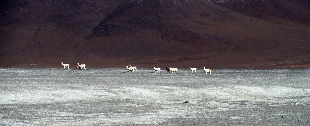 Llama   A herd of Llama cross the Altiplano near Laguna Colorada in southern Bolivia