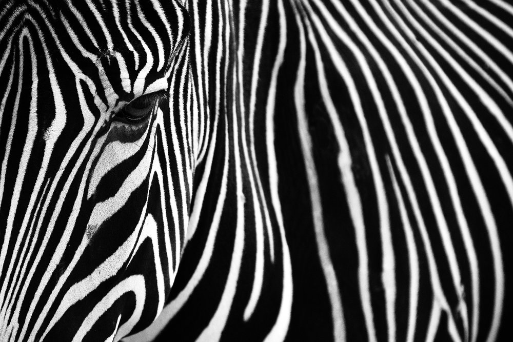Monochrome A zebra in Lisbon Zoo