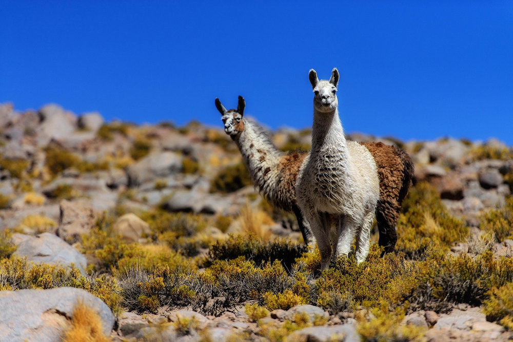 11-Llamas-in-the-Altiplano.jpg