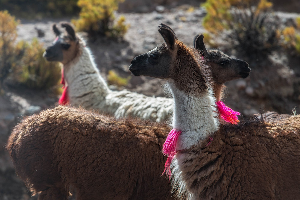 11d-Llamas-in-the-Altiplano.jpg