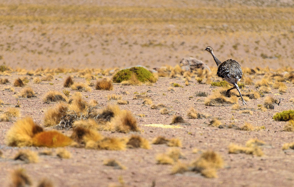 11a-Ostrich-in-the-Altiplano.jpg