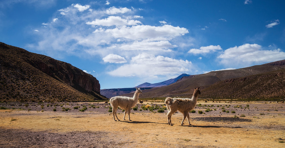 11c-Llamas-in-the-Altiplano.jpg
