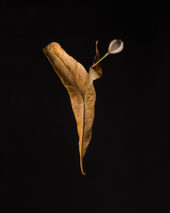 Basswood Seed