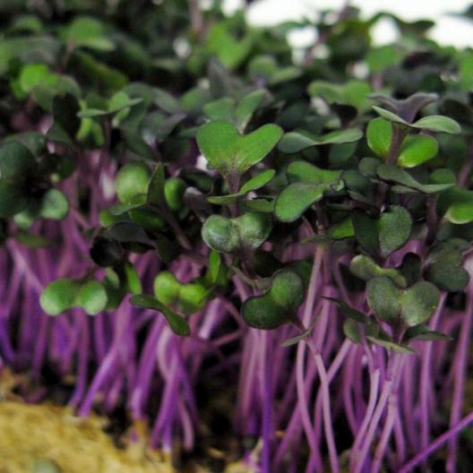 Redacre cabbage.jpg