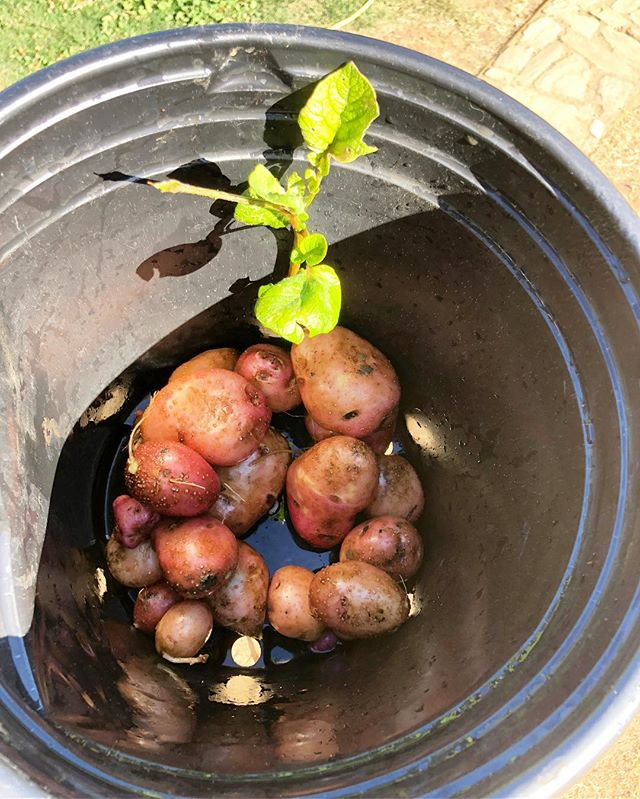 "When your wife says ""do we have potatoes to go with grilled chicken?"" The answer is YES! One plant... pure #organic 🥔 #organicpotatoes #farmtotable #terraamicofarms #growwhatyoueat"