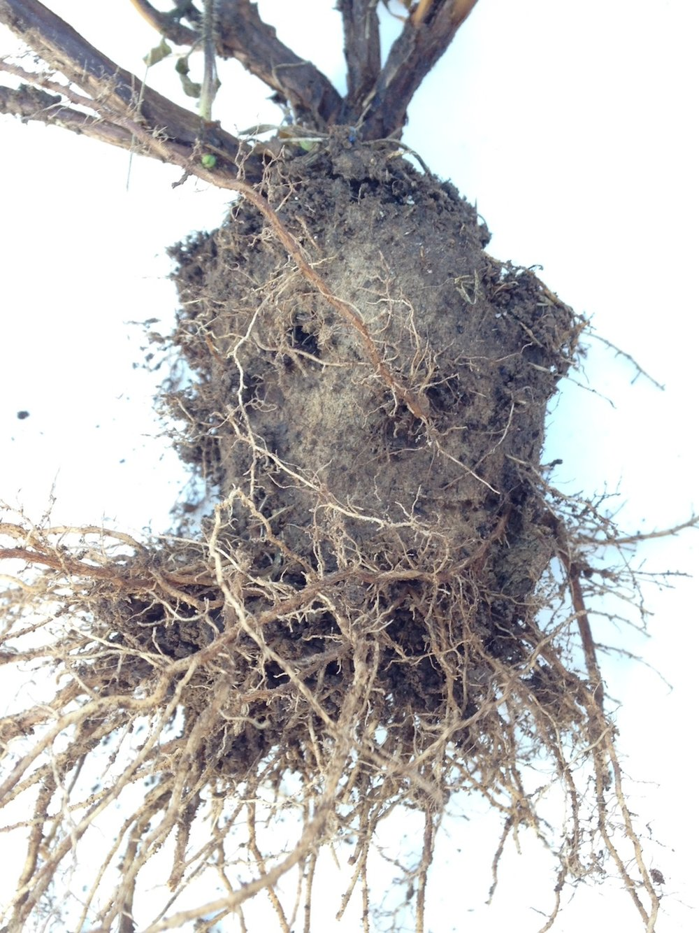 This is what you'll see at the end of the season - no pot, great root system!