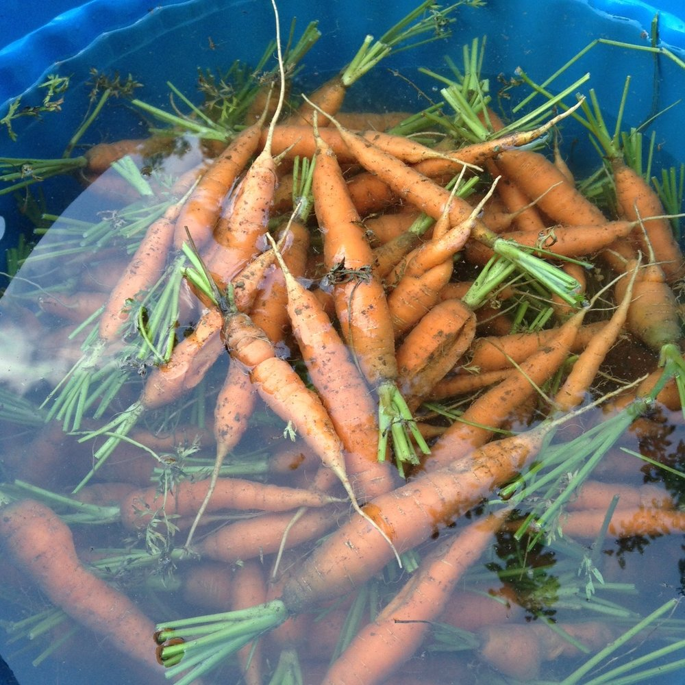 carrots in blue tub.jpg